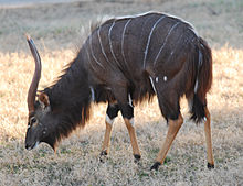 Tragelaphus angasii - Disney's Animal Kingdom Lodge, Orlando, Florida, USA - 20100119.jpg