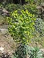 Trauttmansdorff gardens - Euphorbia characias 05.jpg