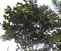 Tree baadam.jpg