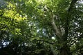 Tree branches with dappled sunshine in Harestanes woodland.jpg