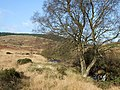 Tree by the Afon Tywi north of Llyn Brianne - geograph.org.uk - 1040422.jpg
