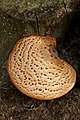 Tree fungus 4.jpg