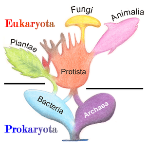 Prokaryote - Phylogenetic and symbiogenetic tree of living organisms, showing the origins of eukaryotes and prokaryotes