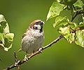 Tree sparrow (49969620447).jpg