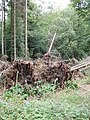 Trees felled by wind, Gussetts Wood - geograph.org.uk - 886541.jpg