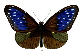 <i>Euploea mulciber</i> species of insect