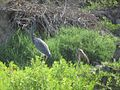 Tricolored Heron and Scarlet Ibis (12497814665).jpg