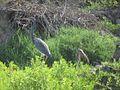 Tricolored Heron and Scarlet Ibis (12497814665).jpg
