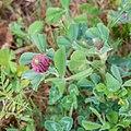 Trifolium incarnatum in Aveyron (8).jpg