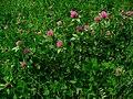 Trifolium pratense 001.JPG