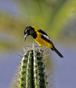 Trupial on a cactus.png