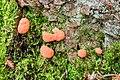 Tubifera ferruginosa - Fischeierschleimpilz - Lachsfarbener Schleimpilz - 03.jpg