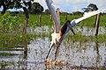 Tuiuiu - Ave Simbolo do Pantanal de Mato Grosso.jpg