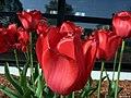 Tulips (102631433).jpeg