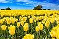 Tulips From Twente Netherlands (256572527).jpeg