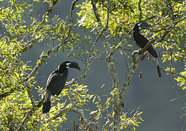 Two Bushy-crested Hornbills (Anorrhinus galeritus) in a tree.jpg