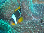 Twobar anemonefish at Manta Reef dsc04364.jpg