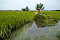 Typhoon Ketsana flooded rice field1.jpg