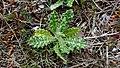 Tyrimnus-leucographus-Claret-PhilippeGerbet02.jpg