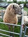 Uffculme - Uffculme Show 2010 & Sheep (geograph 1838980).jpg
