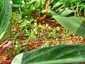 Unidentified Rubiaceae in Kourou (HDR).jpg