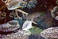 Unidentified fishes in the Antalya Aquarium 07.jpg