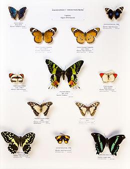 Université de Rennes 1, collection Charles Oberthür, papillons, région afrotropicale.jpg