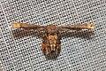 Uraniidae, Epipleminae (15442542841).jpg