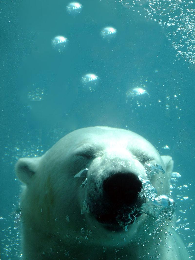 Nos amis les bêtes 800px-Ursus_maritimus_dive