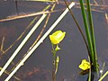 Utricularia cornuta 2-eheep (5097411467).jpg