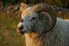 Värmland sheep white ram.jpg