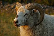Värmland sheep white ram