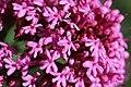 Valerian - Centranthus ruber (14104581521).jpg