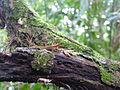 Vegetación de la Reserva de la Biosfera La Amistad Panama (RBLAP) 05.JPG