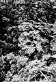 Vegetacion junto al Río Yelcho 1903 Helechos.jpg