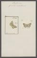 Venilia - Print - Iconographia Zoologica - Special Collections University of Amsterdam - UBAINV0274 058 01 0056.tif