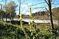 Verbascum nigrum ENBLA02.jpg