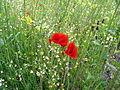 Verge flowers 8.JPG