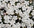 Viburnum betulifolium 2015-06-01 OB 063b.jpg