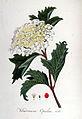 Viburum opulus — Flora Batava — Volume v6.jpg