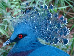 Victoria Crowned Pigeon Jurong cropped.JPG