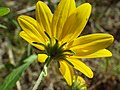Viguiera multiflora (7990104542).jpg