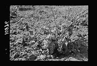 Vintage activities at Richon-le-Zion, Aug. 1939. Close up of grape vine laden with fruit (a diseased grape vine) LOC matpc.19770.jpg