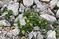 Viola crassa subsp. alpicola s3.jpg