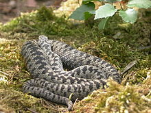 A common adder basking in the open upon loose moss litter with head resting upon its coil and facing away. The central part of its body is thick and it has probaby eaten recently.