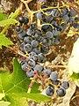 Vitis vinifera. Vide.jpg