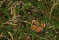 Vraňany, Mlčechvosty, motýl.JPG