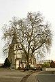 Vrijheidsboom , opgaande plataan - 374941 - onroerenderfgoed.jpg