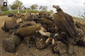 Vultures scavenge on an elephant kill - journal.pone.0060797.g001-D.png