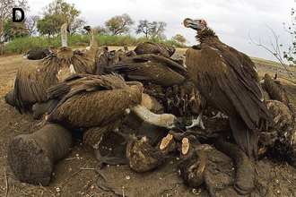Lappet-faced vulture - Scavenging on an elephant carcass